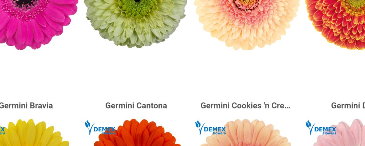 Germini gallery demexflowers